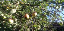 Apfelbaum-Versteigerung in Graulingen