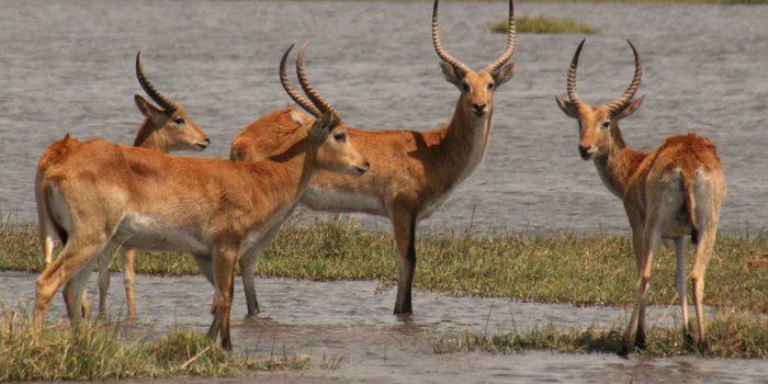 Antilope im Landkreis Celle Abschussgenehmigung ausgesetzt